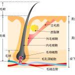 毛根の構造について